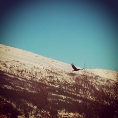 Crow flying over a lake