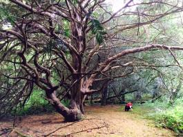 This is a photograph taken in woodland, showing a large ewe tree with someone underneath it. The person underneath the tree is a woman taking part in a multi-sensory walk.