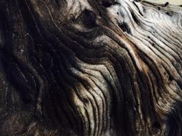 This is a photograph that shows an up-close image of a tree's bark. The bark is smooth, with ridged textures that have a swirling formation.