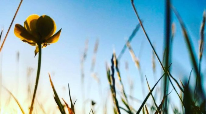 Photograph of a buttercup amongst the grass with the sun coming up behind it in a blue sky.